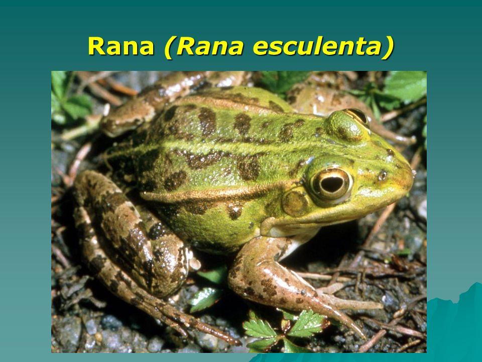 Rana (Rana esculenta)