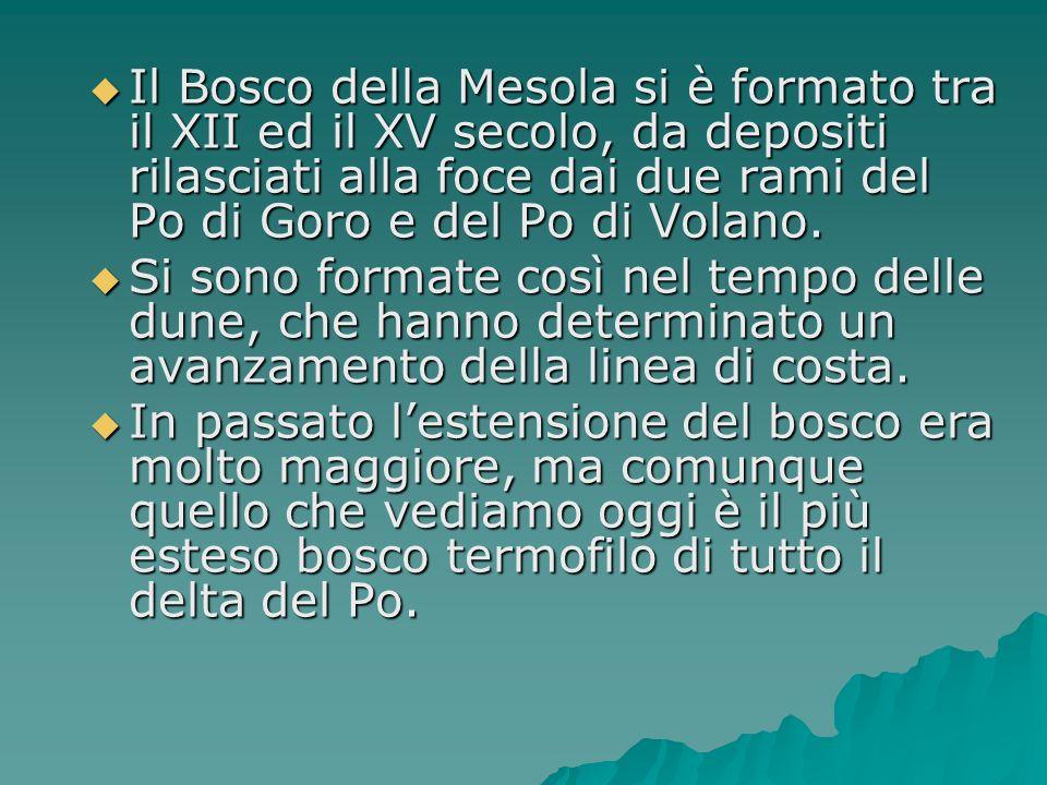 Il Bosco della Mesola si è formato tra il XII ed il XV secolo, da depositi rilasciati alla foce dai due rami del Po di Goro e del Po di Volano. Il Bos