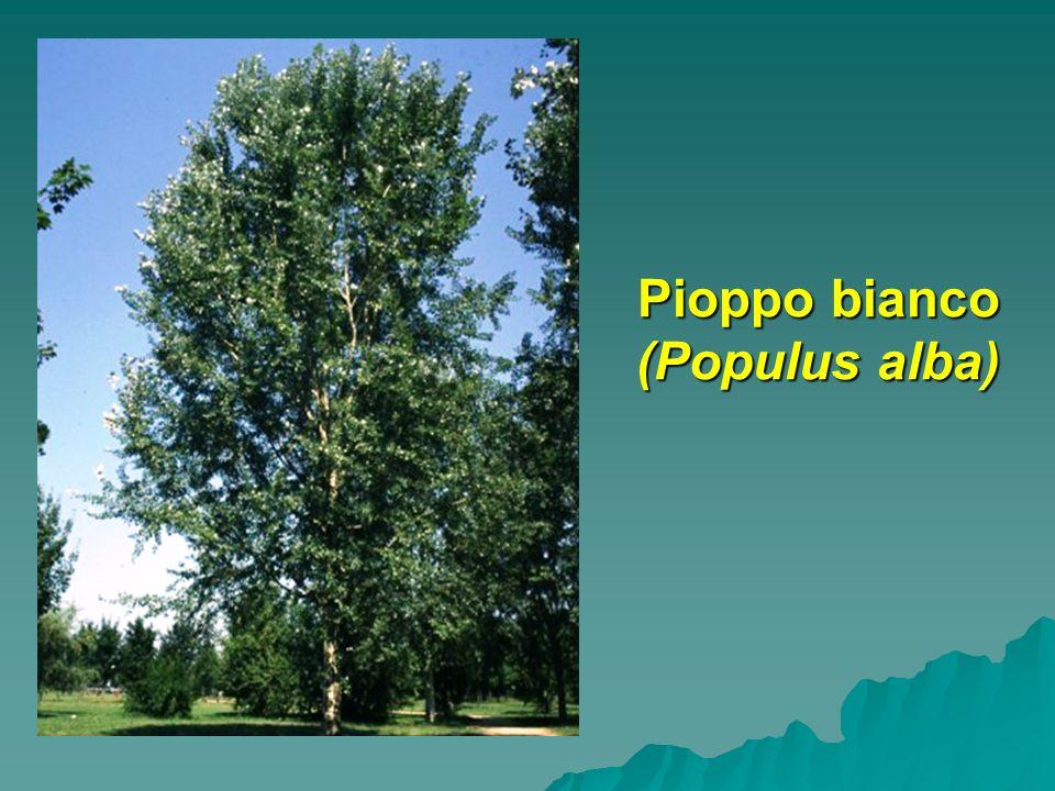 Pioppo bianco (Populus alba)