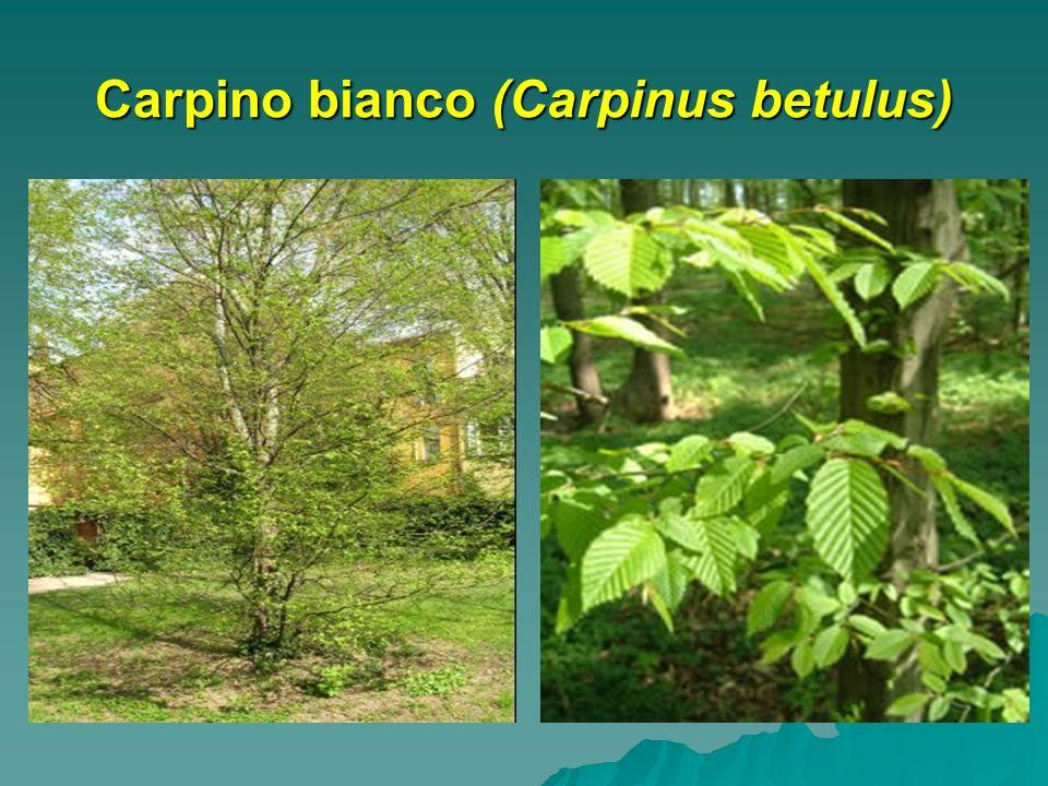 Carpino bianco (Carpinus betulus)