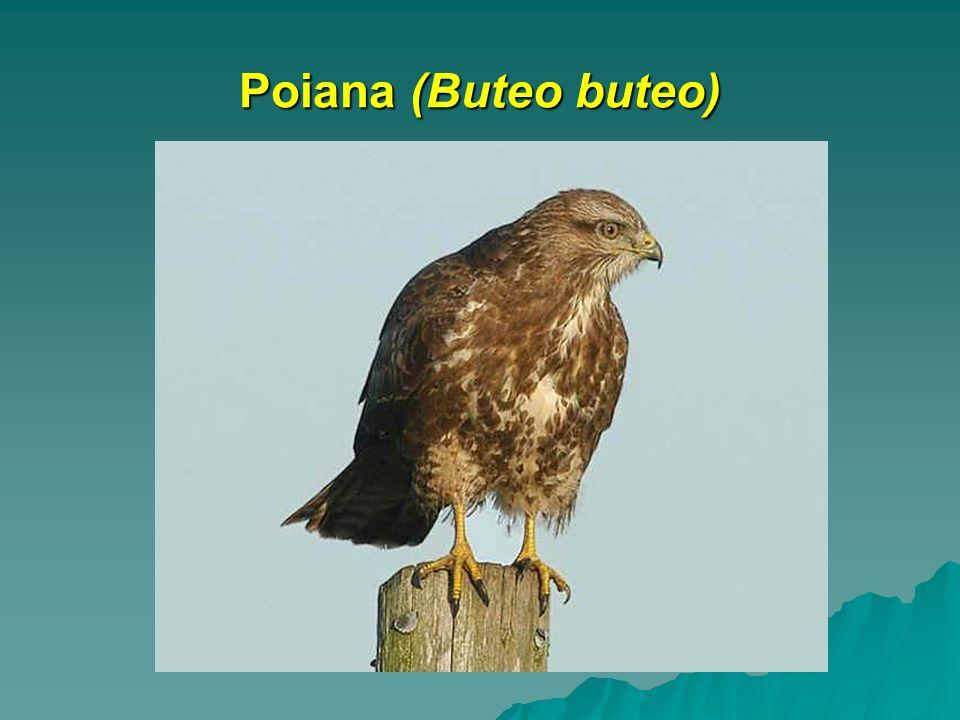 Poiana (Buteo buteo)
