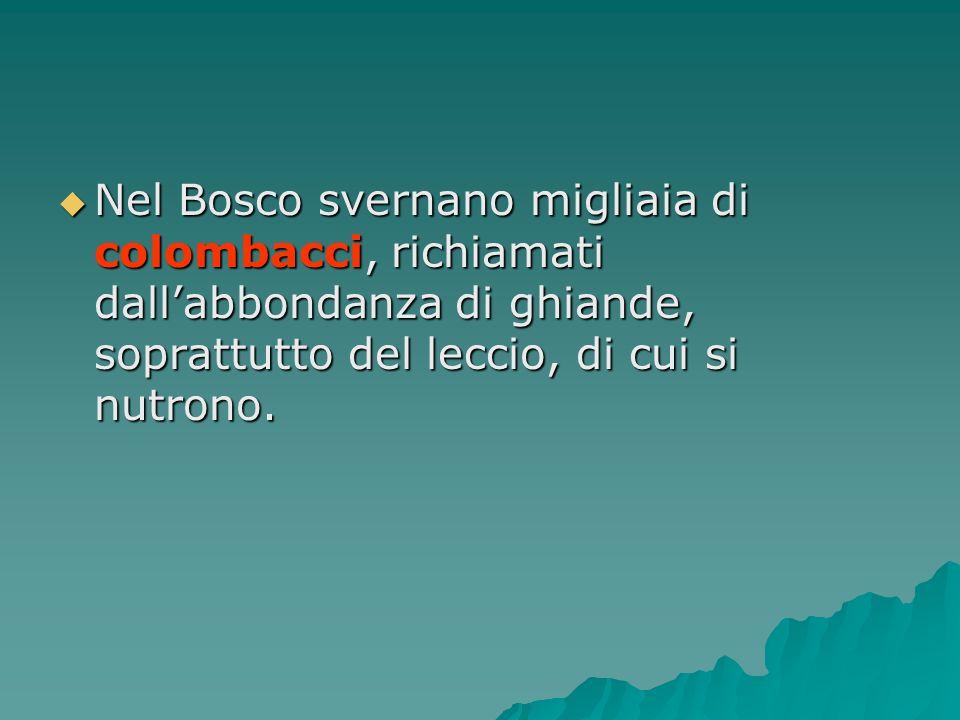 Nel Bosco svernano migliaia di colombacci, richiamati dallabbondanza di ghiande, soprattutto del leccio, di cui si nutrono. Nel Bosco svernano migliai