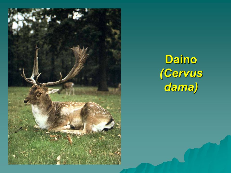Daino (Cervus dama)