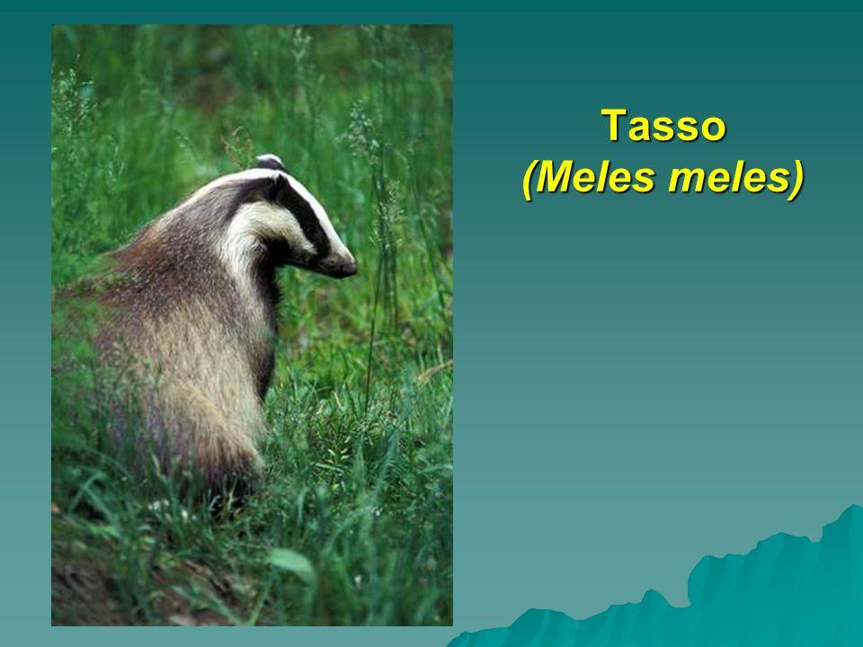 Tasso (Meles meles)