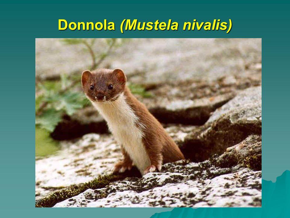 Donnola (Mustela nivalis)