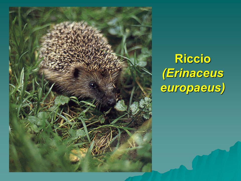 Riccio (Erinaceus europaeus) Riccio (Erinaceus europaeus)