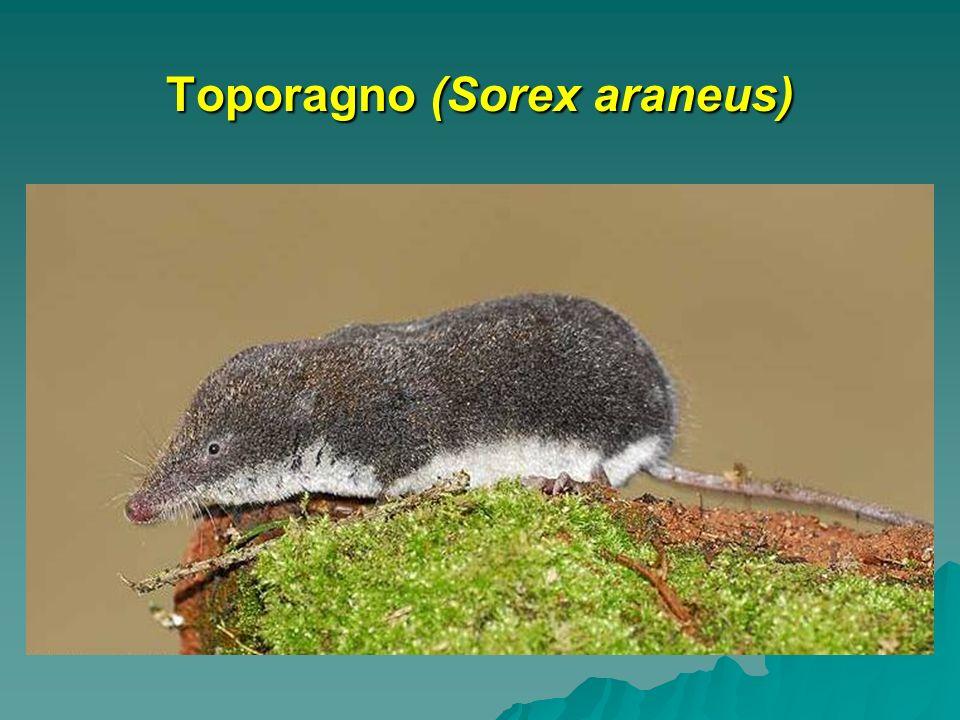 Toporagno (Sorex araneus)