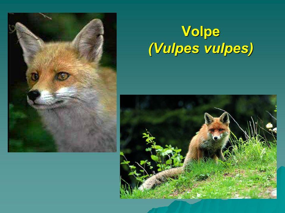 Volpe (Vulpes vulpes)