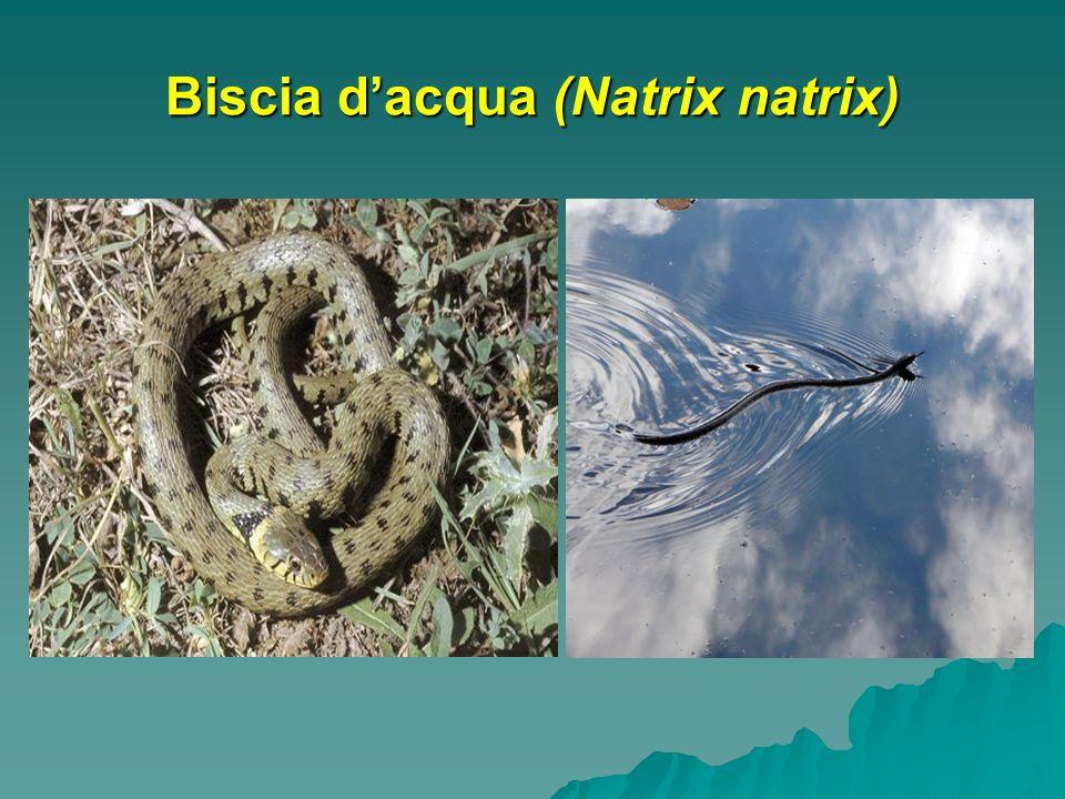 Biscia dacqua (Natrix natrix)