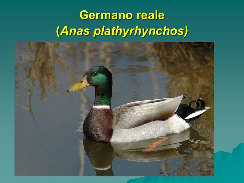 Germano reale (Anas plathyrhynchos)