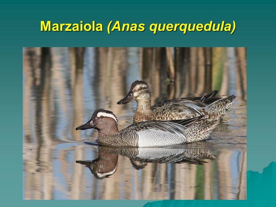 Marzaiola (Anas querquedula)