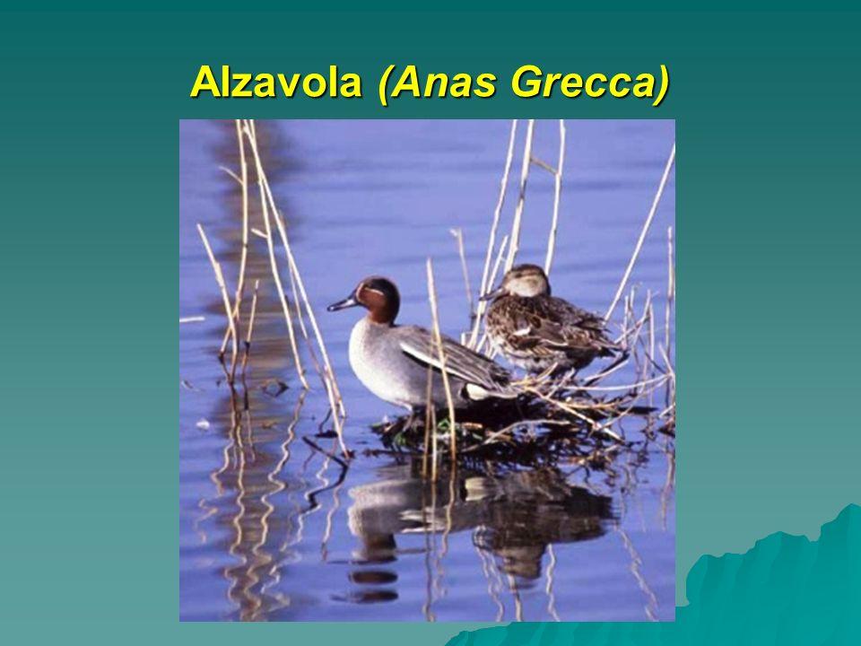 Alzavola (Anas Grecca)