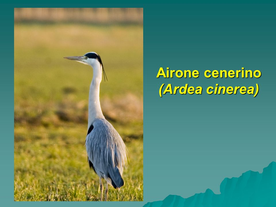 Airone cenerino (Ardea cinerea)