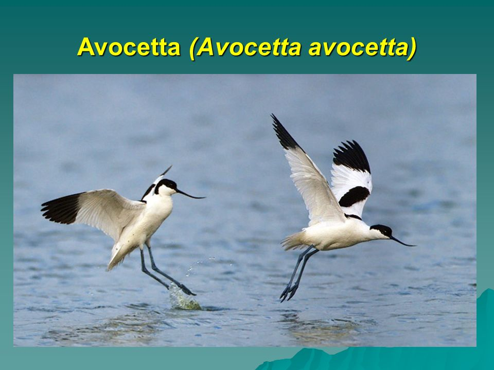 Avocetta (Avocetta avocetta)
