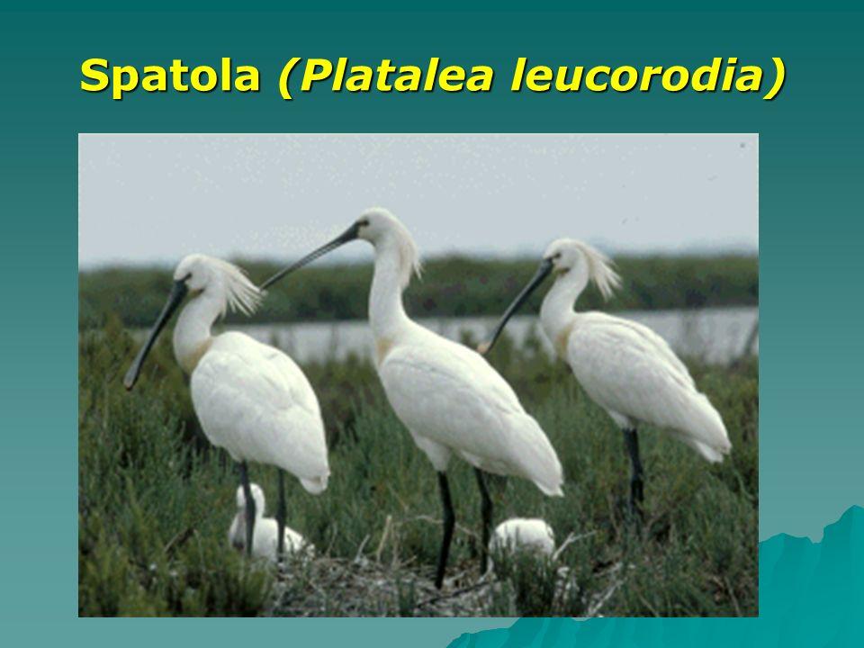 Spatola (Platalea leucorodia)