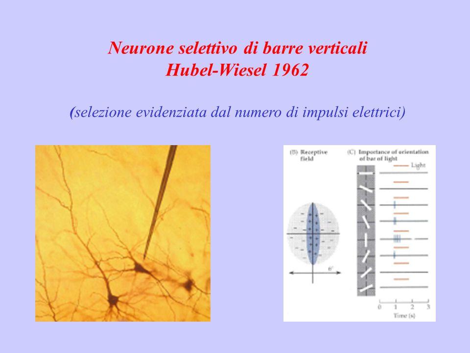 Neurone selettivo di barre verticali Hubel-Wiesel 1962 (selezione evidenziata dal numero di impulsi elettrici)