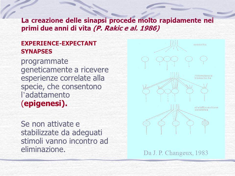 La creazione delle sinapsi procede molto rapidamente nei primi due anni di vita (P. Rakic e al. 1986) EXPERIENCE-EXPECTANT SYNAPSES programmate geneti