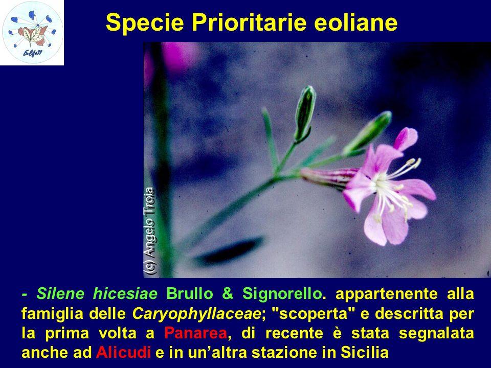 Specie Prioritarie eoliane - Silene hicesiae Brullo & Signorello. appartenente alla famiglia delle Caryophyllaceae;
