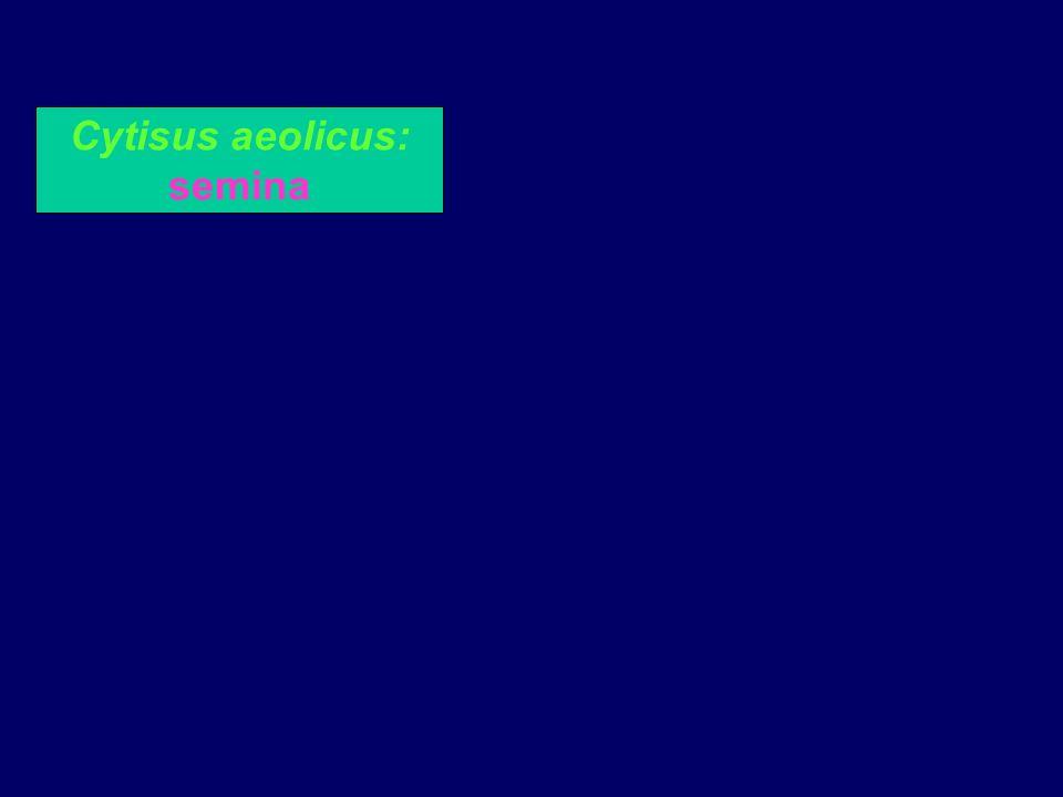 Cytisus aeolicus: semina