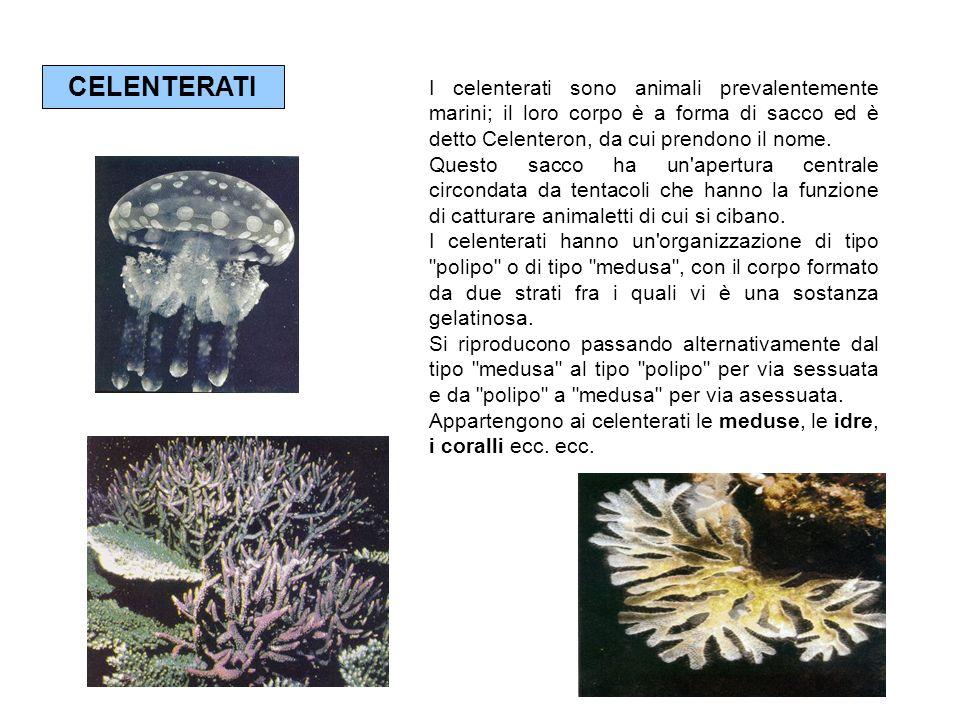 CELENTERATI I celenterati sono animali prevalentemente marini; il loro corpo è a forma di sacco ed è detto Celenteron, da cui prendono il nome. Questo
