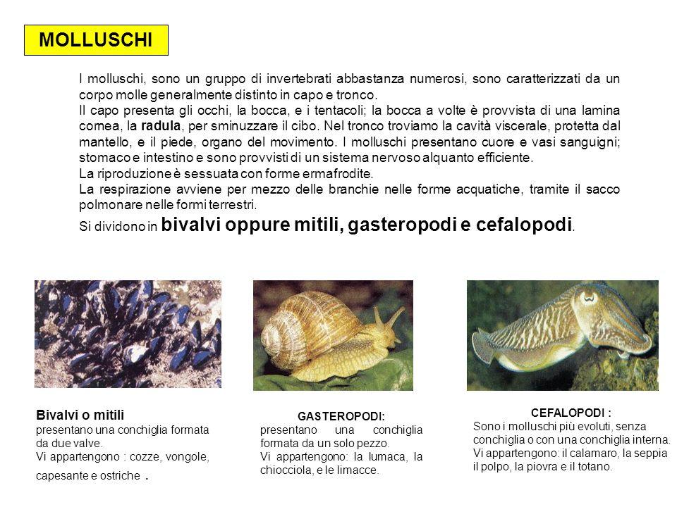 I molluschi, sono un gruppo di invertebrati abbastanza numerosi, sono caratterizzati da un corpo molle generalmente distinto in capo e tronco. Il capo