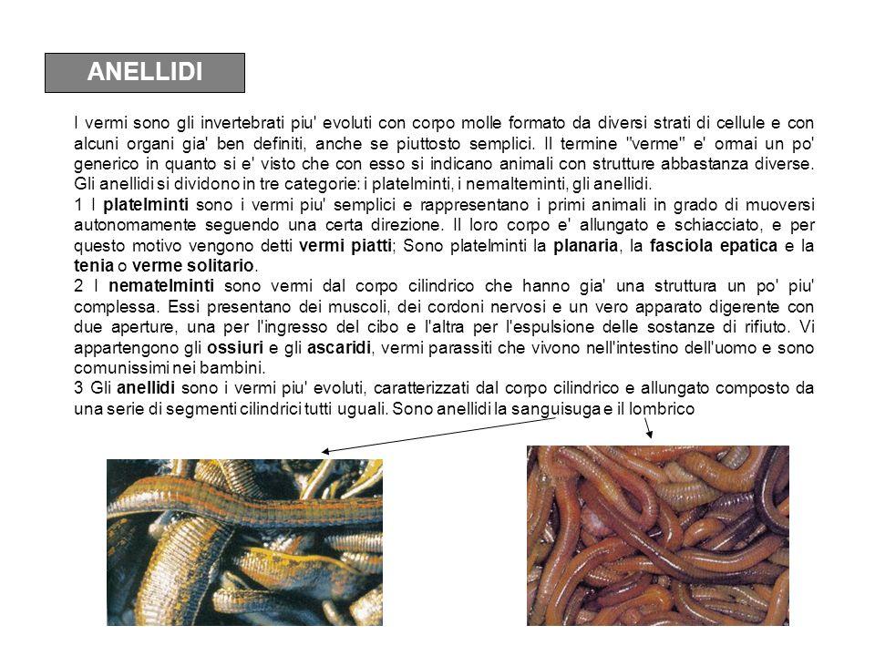ANELLIDI I vermi sono gli invertebrati piu' evoluti con corpo molle formato da diversi strati di cellule e con alcuni organi gia' ben definiti, anche