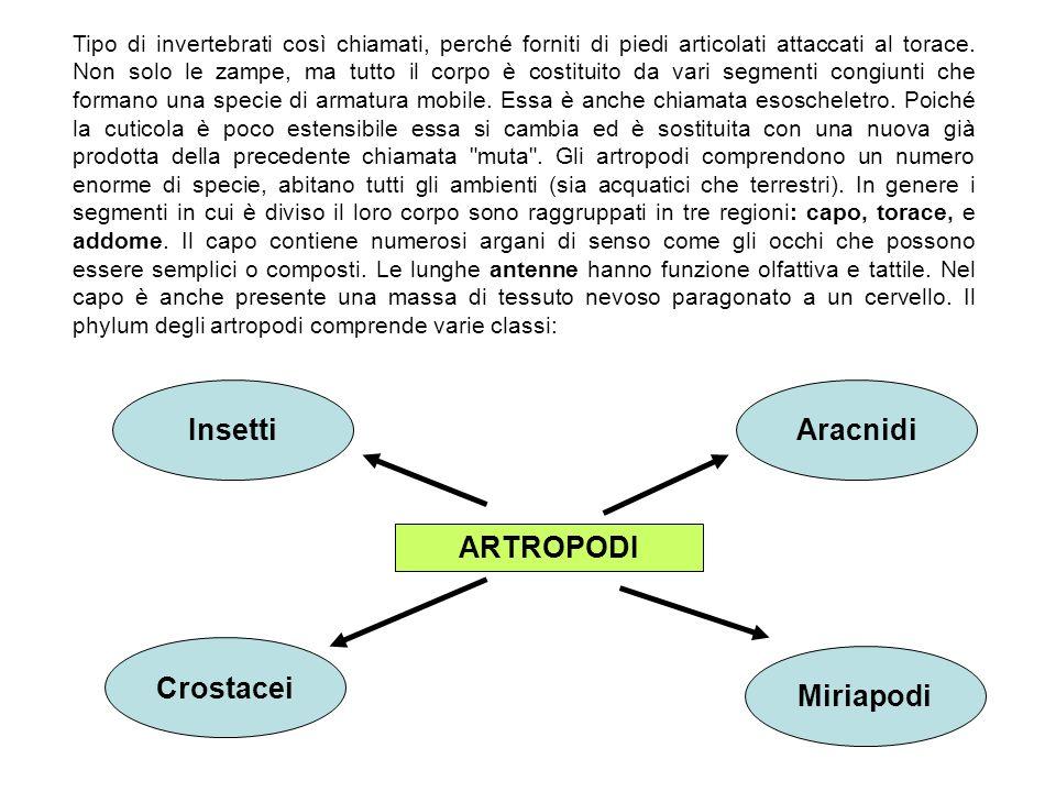 ARTROPODI Insetti Aracnidi Crostacei Miriapodi Tipo di invertebrati così chiamati, perché forniti di piedi articolati attaccati al torace. Non solo le