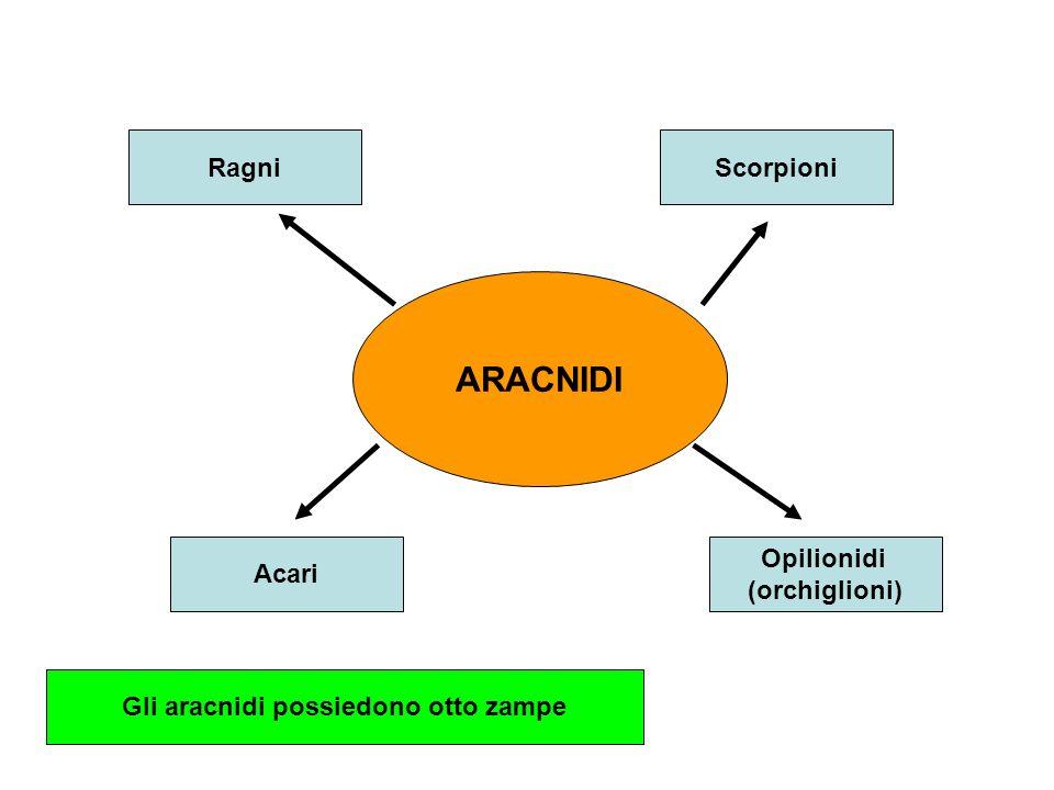 ARACNIDI RagniScorpioni Acari Opilionidi (orchiglioni) Gli aracnidi possiedono otto zampe