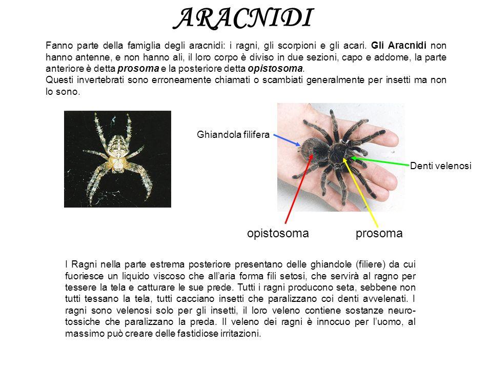 ARACNIDI Fanno parte della famiglia degli aracnidi: i ragni, gli scorpioni e gli acari. Gli Aracnidi non hanno antenne, e non hanno ali, il loro corpo