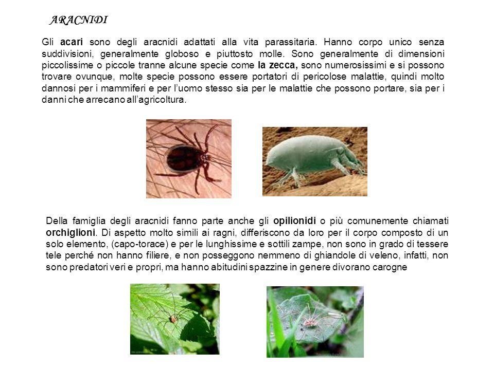 ARACNIDI Gli acari sono degli aracnidi adattati alla vita parassitaria. Hanno corpo unico senza suddivisioni, generalmente globoso e piuttosto molle.