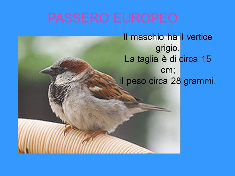 PASSERO EUROPEO Il maschio ha il vertice grigio.