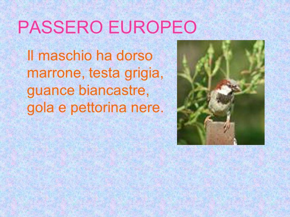 PASSERO EUROPEO Il maschio ha dorso marrone, testa grigia, guance biancastre, gola e pettorina nere.