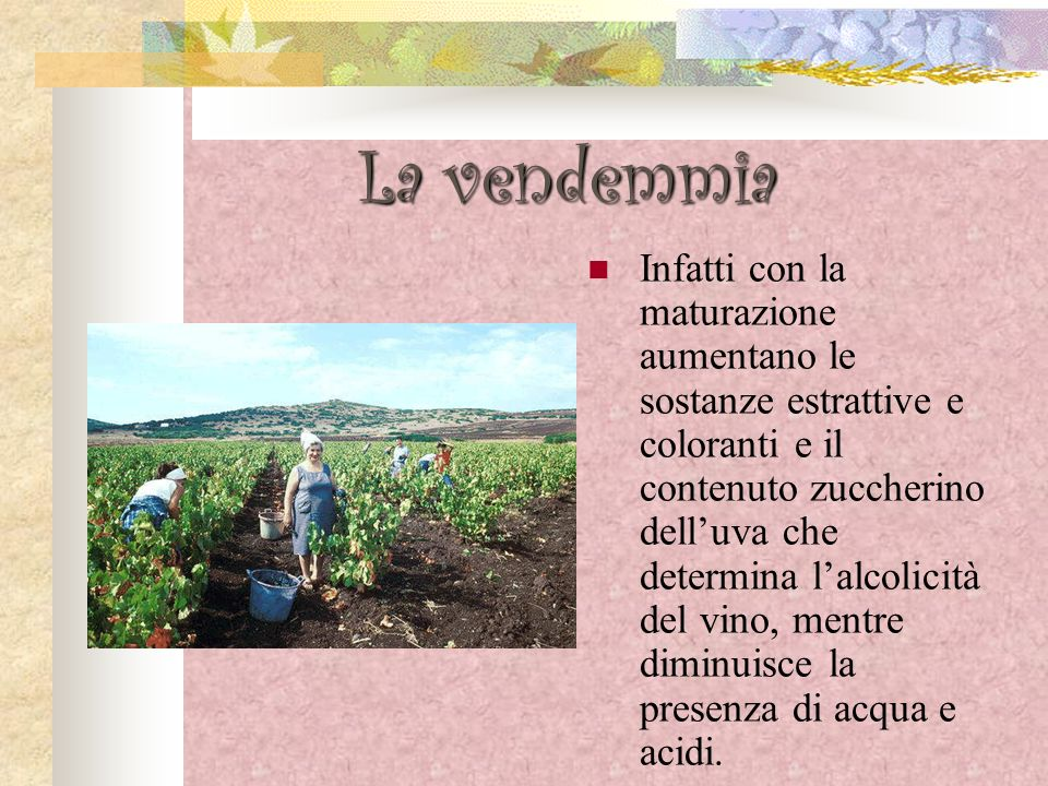 La vendemmia Il grappolo va tagliato il più possibile vicino al frutto, per non avere parti legnose in eccesso.