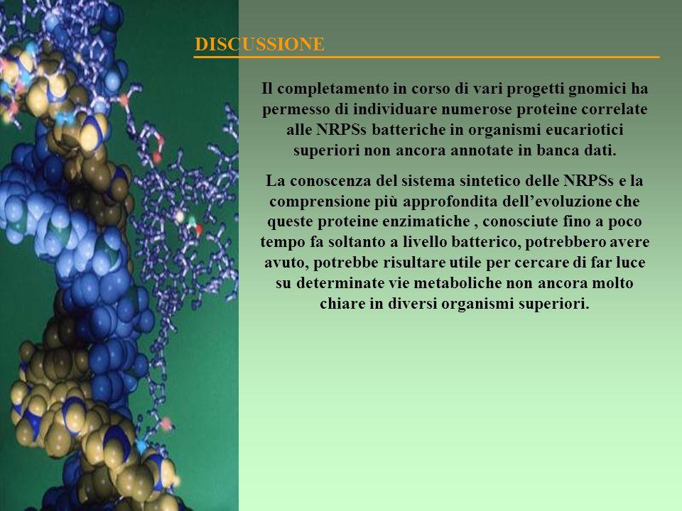 Il completamento in corso di vari progetti gnomici ha permesso di individuare numerose proteine correlate alle NRPSs batteriche in organismi eucarioti