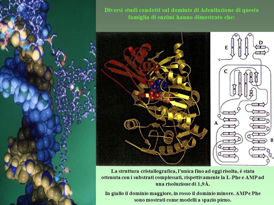 Diversi studi condotti sul dominio di Adenilazione di questa famiglia di enzimi hanno dimostrato che: La natura del substrato che sarà inserito nel pe