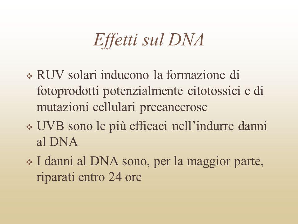 Effetti sul DNA RUV solari inducono la formazione di fotoprodotti potenzialmente citotossici e di mutazioni cellulari precancerose UVB sono le più eff