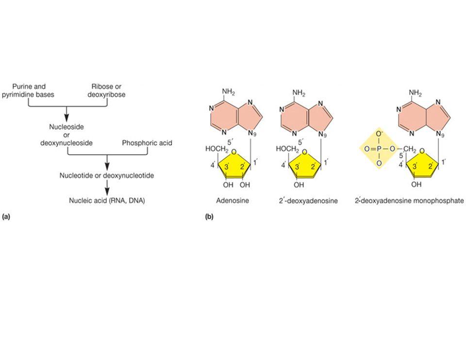 Caratteristiche del DNA Macromolecola, polimero di deossi- ribonucleotidi 4 nucleotidi: adenosina, citosina, guanosina, timidina Appaiamento A-T e G-C (Regola della complementarietà o di Chargaff) Struttura a doppia elica