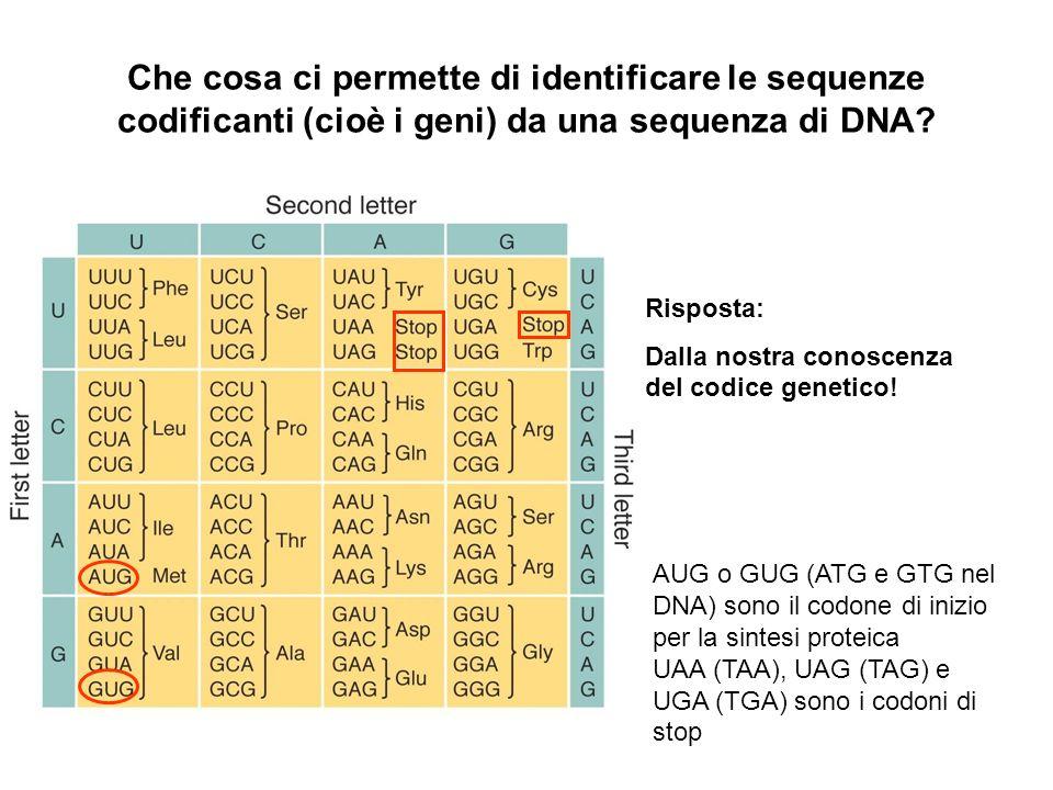 Che cosa ci permette di identificare le sequenze codificanti (cioè i geni) da una sequenza di DNA? Risposta: Dalla nostra conoscenza del codice geneti