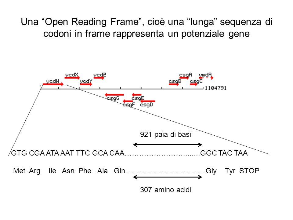 Una Open Reading Frame, cioè una lunga sequenza di codoni in frame rappresenta un potenziale gene GTG CGA ATA AAT TTC GCA CAA……………………........GGC TAC T