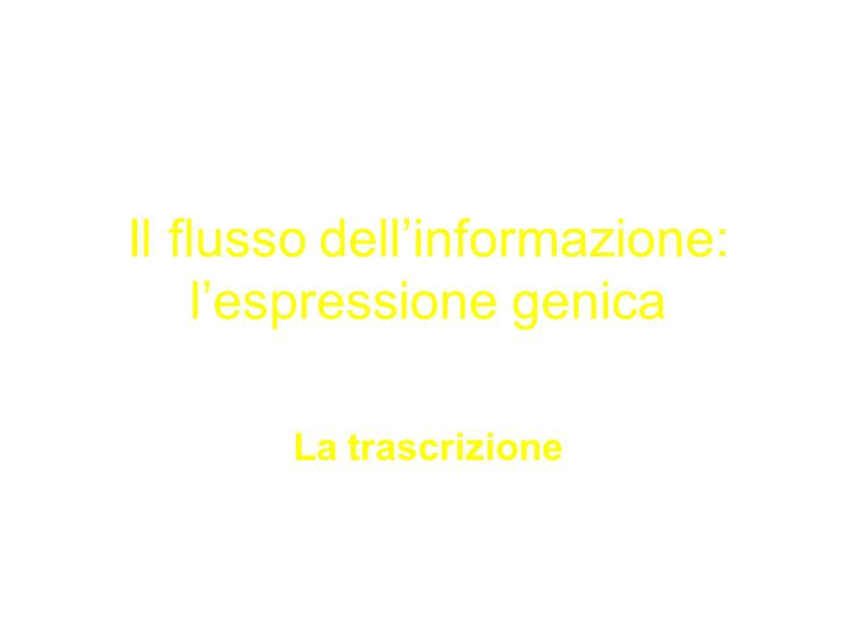 Il flusso dellinformazione: lespressione genica La trascrizione