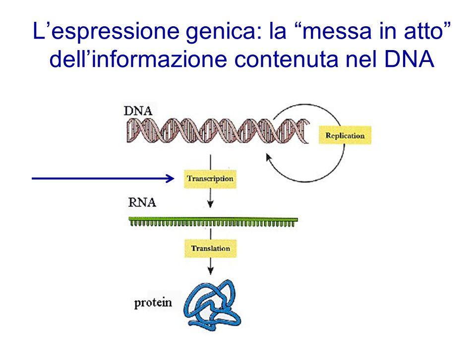 Lespressione genica: la messa in atto dellinformazione contenuta nel DNA