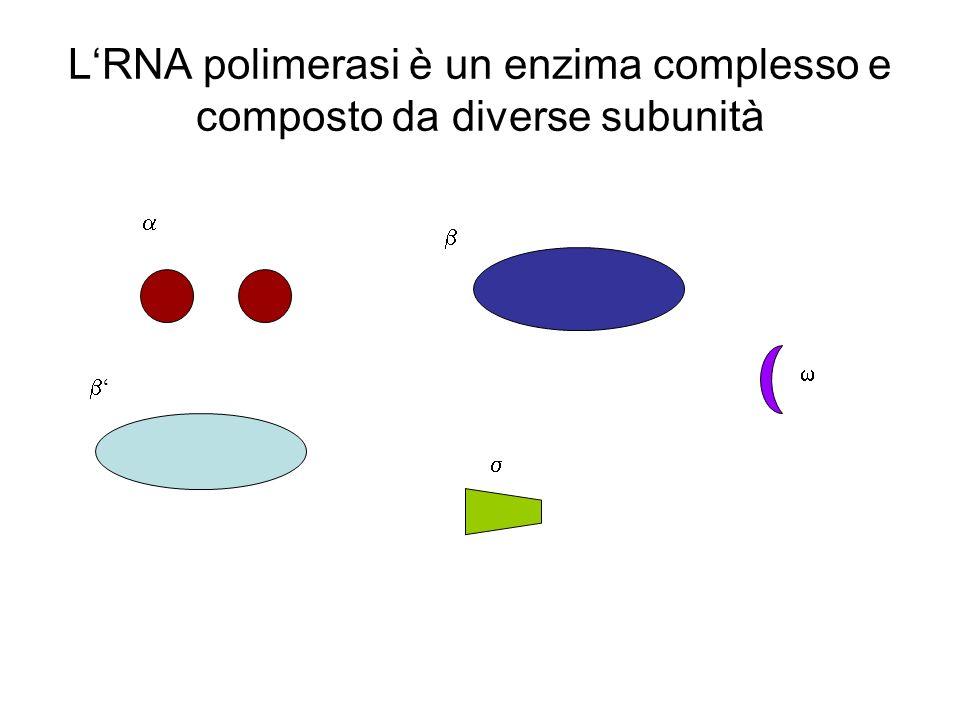 LRNA polimerasi è un enzima complesso e composto da diverse subunità
