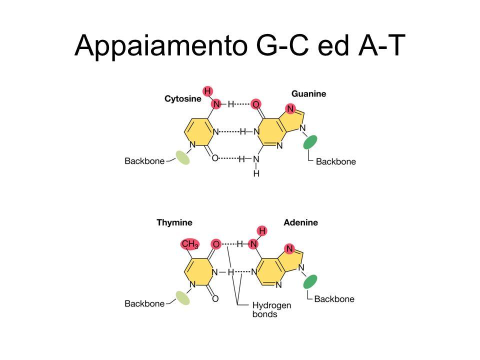 Appaiamento G-C ed A-T
