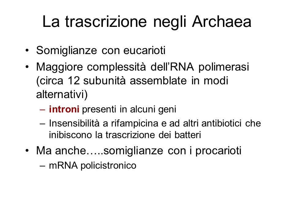 La trascrizione negli Archaea Somiglianze con eucarioti Maggiore complessità dellRNA polimerasi (circa 12 subunità assemblate in modi alternativi) –in