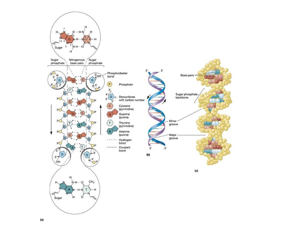 Interpretazione delle sequenze di DNA AATAAAAATTTAACTCAATTTGTATCAAAAAATAACAGAAATCTAGCAGTTTTTGTAT TTTATTTTTAAATTGAGTTAAACATAGTTTTTTATTGTCTTTAGATCGTCAAAAACATA TTGCTGCTGGTGCTGCAATGGCTGATGAAGCTGTTGTTCATGACAGTTATGCATTCG AACGACGACCACGACGTTACCGACTACTTCGACAACAAGTACTGTCAATACGTAAGC 5 5 3 3 5 3 3 3 3 3 5 5