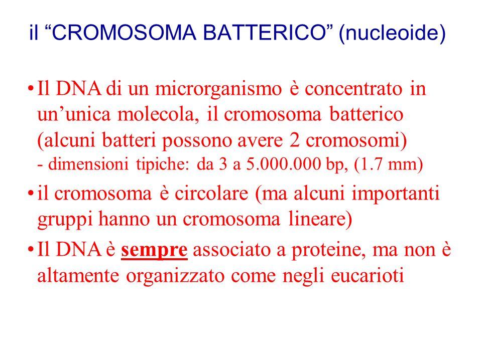 il CROMOSOMA BATTERICO (nucleoide) Il DNA di un microrganismo è concentrato in ununica molecola, il cromosoma batterico (alcuni batteri possono avere