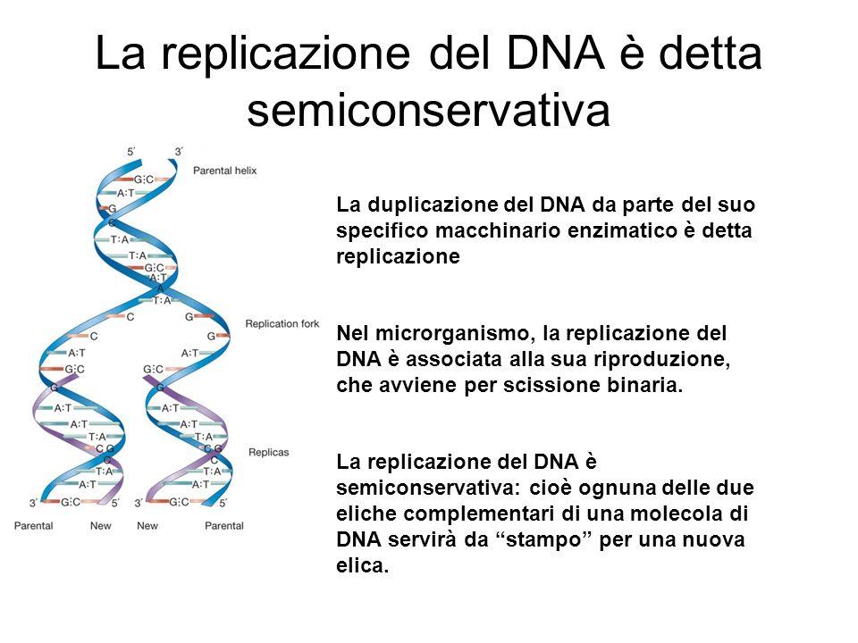 La replicazione del DNA è detta semiconservativa La duplicazione del DNA da parte del suo specifico macchinario enzimatico è detta replicazione Nel mi