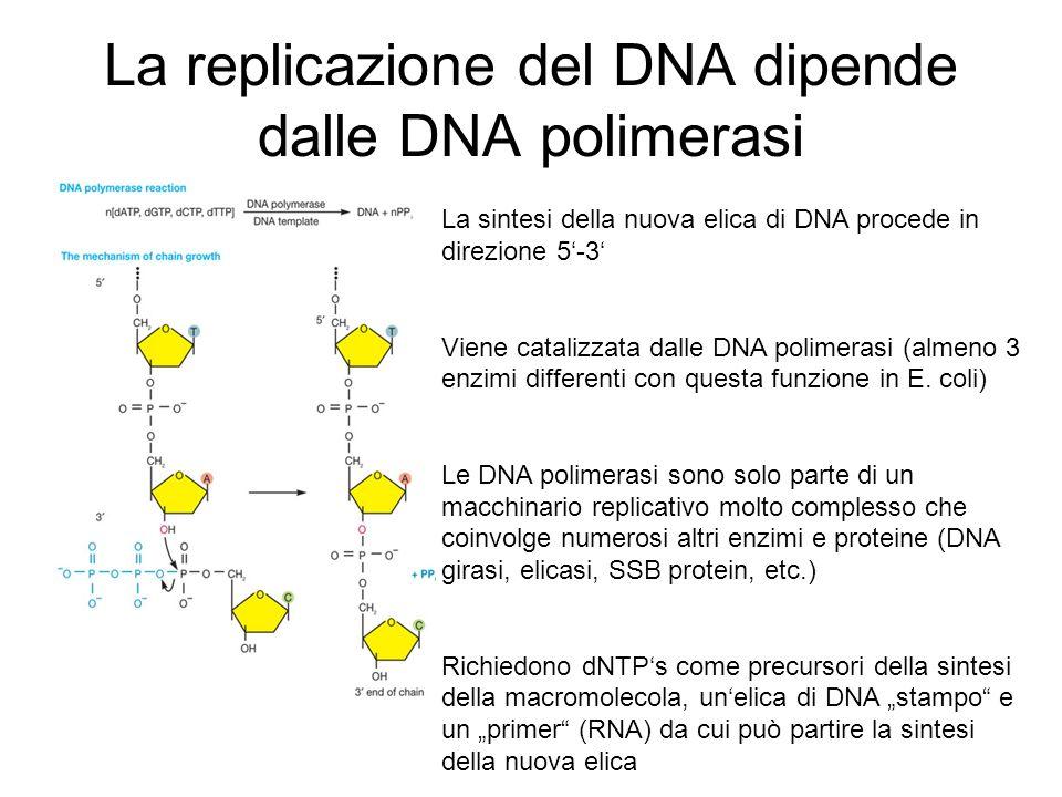 La replicazione del DNA dipende dalle DNA polimerasi La sintesi della nuova elica di DNA procede in direzione 5-3 Viene catalizzata dalle DNA polimera