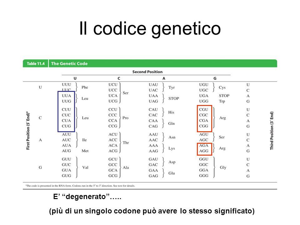 Il codice genetico I codoni che specificano per aminoacidi sono detti codoni senso I tre codoni non senso (UAA, UAG, UGA) segnalano la fine della traduzione