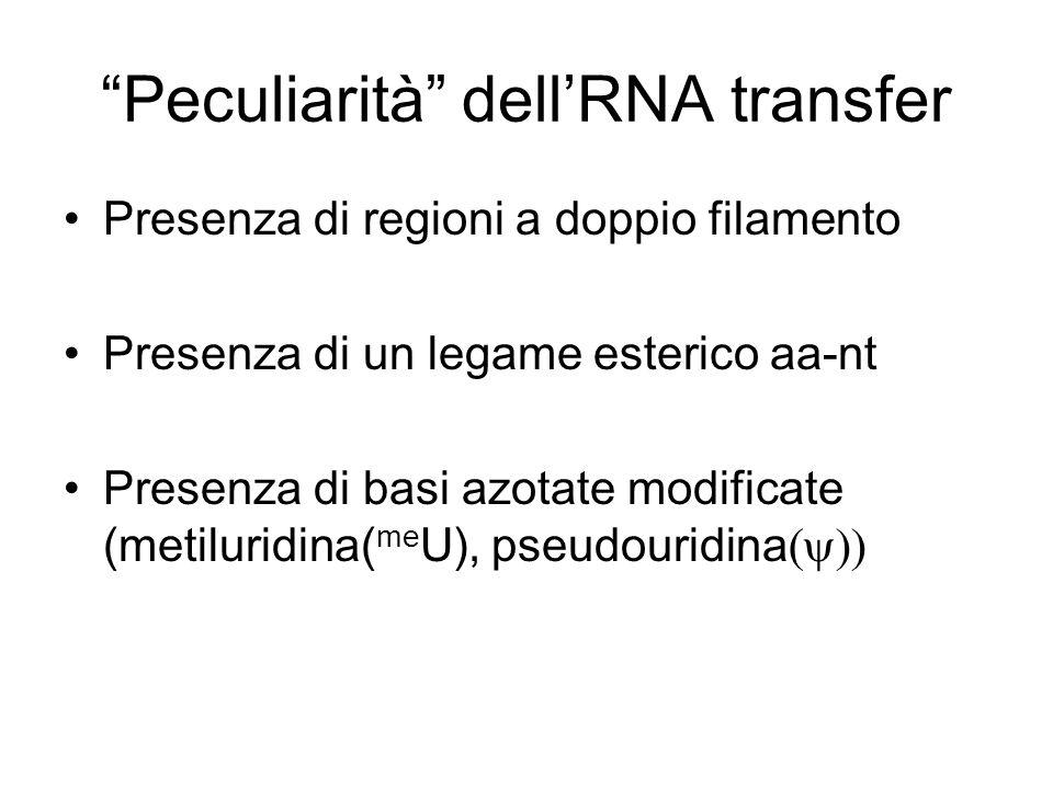 Peculiarità dellRNA transfer Presenza di regioni a doppio filamento Presenza di un legame esterico aa-nt Presenza di basi azotate modificate (metiluri